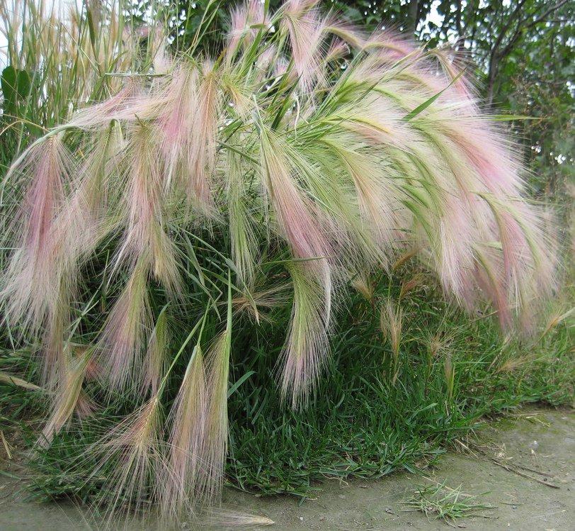 Squirrel Tail Grass Hordeum jubatum - 100 Seeds