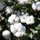 Bulk Upland Cotton Seeds Gossypium hirsutum - 200 Seeds