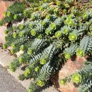 Hardy Donkey Tail Succulent Spruge Euphorbia myrsinites - 15 Seeds