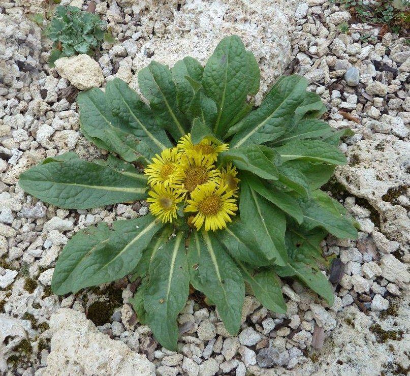 Rare Hardy Himalayan Rock Sunflower Inula rhizocephala  - 30 Seeds