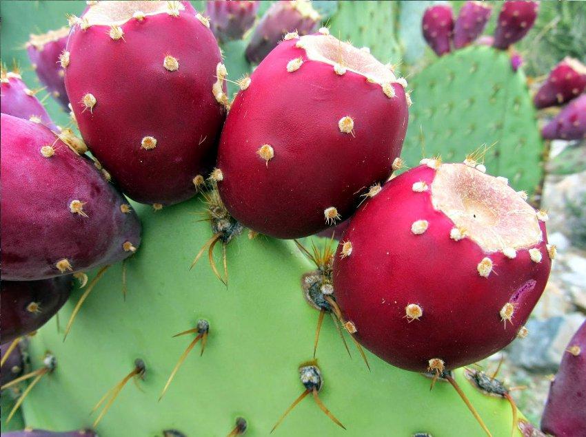 Prickly Pear Hardy Cactus Nopal Opuntia tuna indica - 20 Seeds