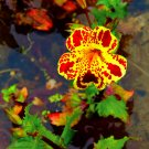 Pond Flower Tiger Monkey Flower Mimulus tigrinus - 150 Seeds