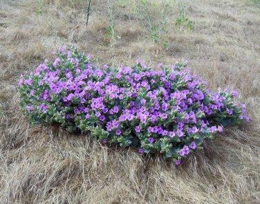 Mirabilis multiflora | Forum topic | North American Rock Garden ...