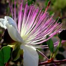 Wild Italian Capers Caper Bush Capparis spinosa - 20 Seeds