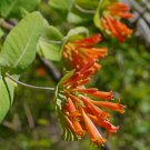 Hummingbird Orange Honeysuckle Vine Lonicera ciliosa - 20 Seeds