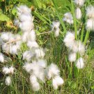 Hardy Cottonsedge Eriophorum angustifolium - 25 Seeds