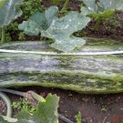 English Vegetable Marrow Cucurbita pepo - 10 Seeds