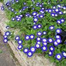 Blue Dwarf Morning Glory Convolvulus tricolor - 30 Seeds