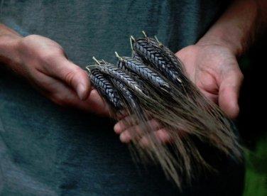 Extremely Rare Ancient Grain True Black Winter Emmer Triticum dicoccon var. atratum - 25 Seeds