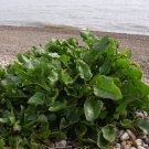Rare Ancient Heirloom Wild Sea Beet Beta vulgaris maritima - 10 Seeds