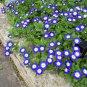 Fairy Garden Blue Dwarf Morning Glory Convolvulus tricolor minor - 30 Seeds