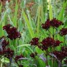 Goth Garden Sweet William Dianthus barbatus nigrescens - 30 Seeds