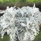 Silver Leaf Dusty Miller Senecio cineraria - 100 Seeds