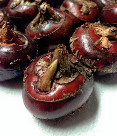 Fresh Asian Water Chestnut Eleocharis dulcis Rare - 8 Bulbs / Corms