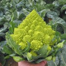 Heirloom Gourmet Romanesco Broccoli Brassica oleracea - 50 Seeds