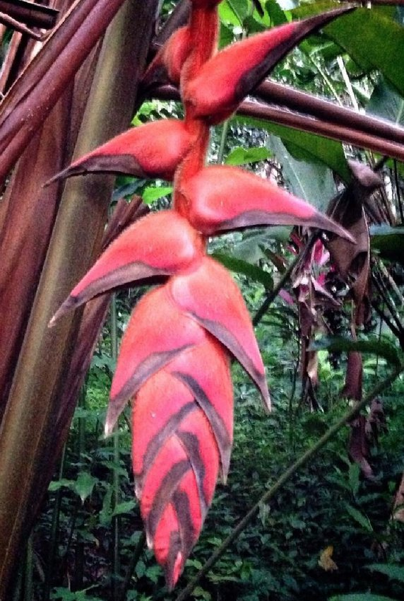 Rare Tropical Colombian Fuzzy Lobster Claw Heliconia Giraldesi - 10 Seeds