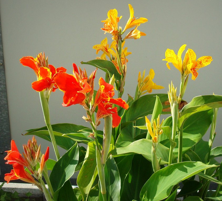 Tropical Canna Lily Color Mix - 10 Seeds