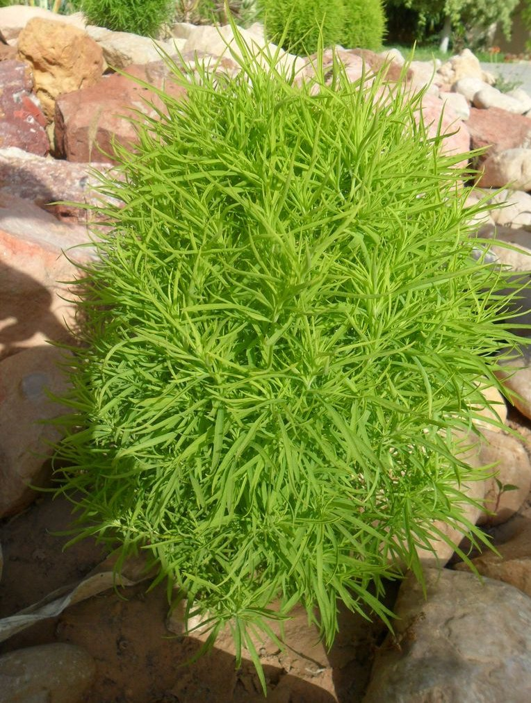 Mexican Firebrush Mock-Cypress Bassia scoparia - 100 Seeds