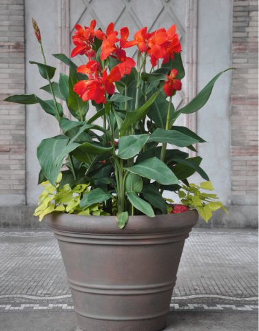 Tropical Red Canna Lily Canna Indica - 10 Seeds