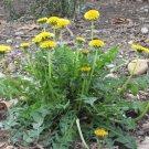 Wild Endive Dandelion Taraxacum Officinale - 120 Seeds