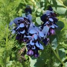 Blue Wax Flower Honeywort Cerinthe Major Purpurascens - 12 Seeds