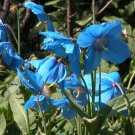 Tibetan Blue Poppy Meconopsis betonicifolia - 25 Seeds
