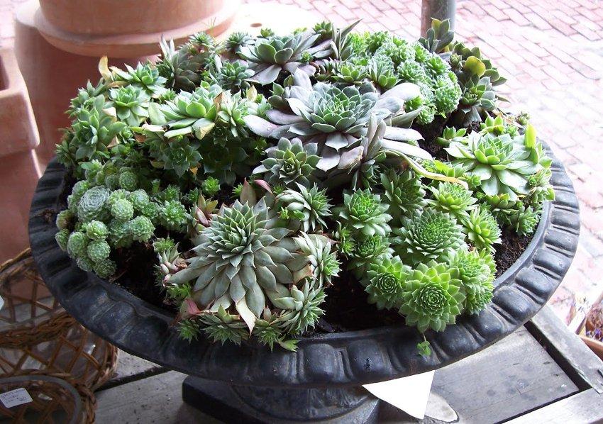 Mixed Cactus Hen and Chick's Houseleek Succulents Sempervivum - 50 Seeds