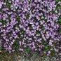 Unusual Kenilworth Ivy Cymbalaria muralis - 100 Seeds