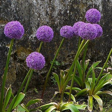 Seuss Inspired Ornamental Onion 'Purple Sensation' Allium aflatunense - 50 Seeds