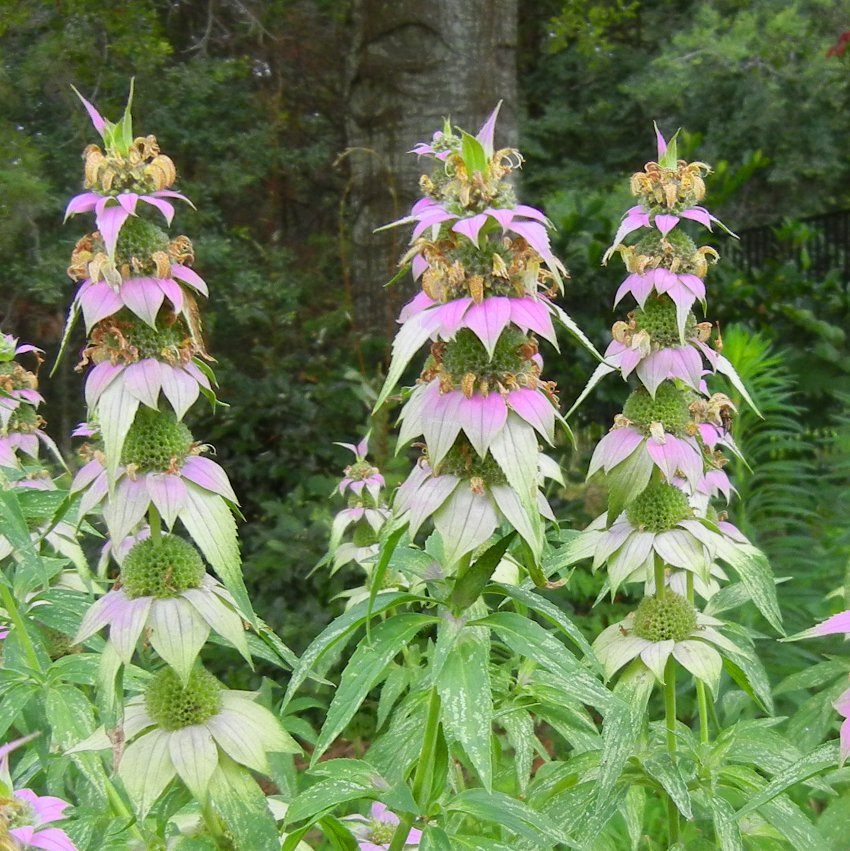 Seuss Inspired Spotted Bee Balm Monarda punctata - 100 Seeds