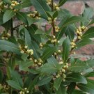 Bay Leaf Sweet Bay Laurel Laurus nobilis - 5 Seeds