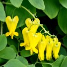 Yellow Bleeding Heart Vine Dactylicapnos scandens - 15 Seed