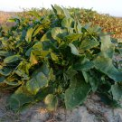 Wild Sea Beet Sea Spinach Heirloom Beta vulgaris maritima - 10 Seeds