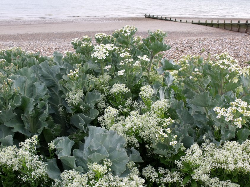 Heirloom British Coastal Sea Kale Rare Crambe maritima - 10 Seeds