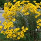 Unusual Tall Narrowleaf Marsh Swamp Sunflower Helianthus angustifolius 2 for 1 - 100 Seeds