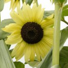 Sale! Lemon Queen Sunflower Helianthus 2 for 1 - 50 Seeds