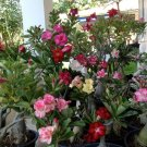 Mixed Desert Rose Adenium Natural Bonsai - 12 Seeds
