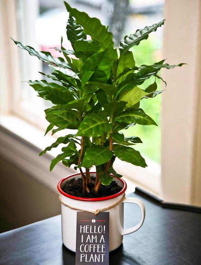 Fresh Coffee Plant Seeds Raw Coffea Arabica - 25 Fresh Seeds
