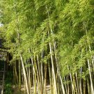 Exotic Giant Moso Bamboo Phyllostachys Edulis - 10 Seeds