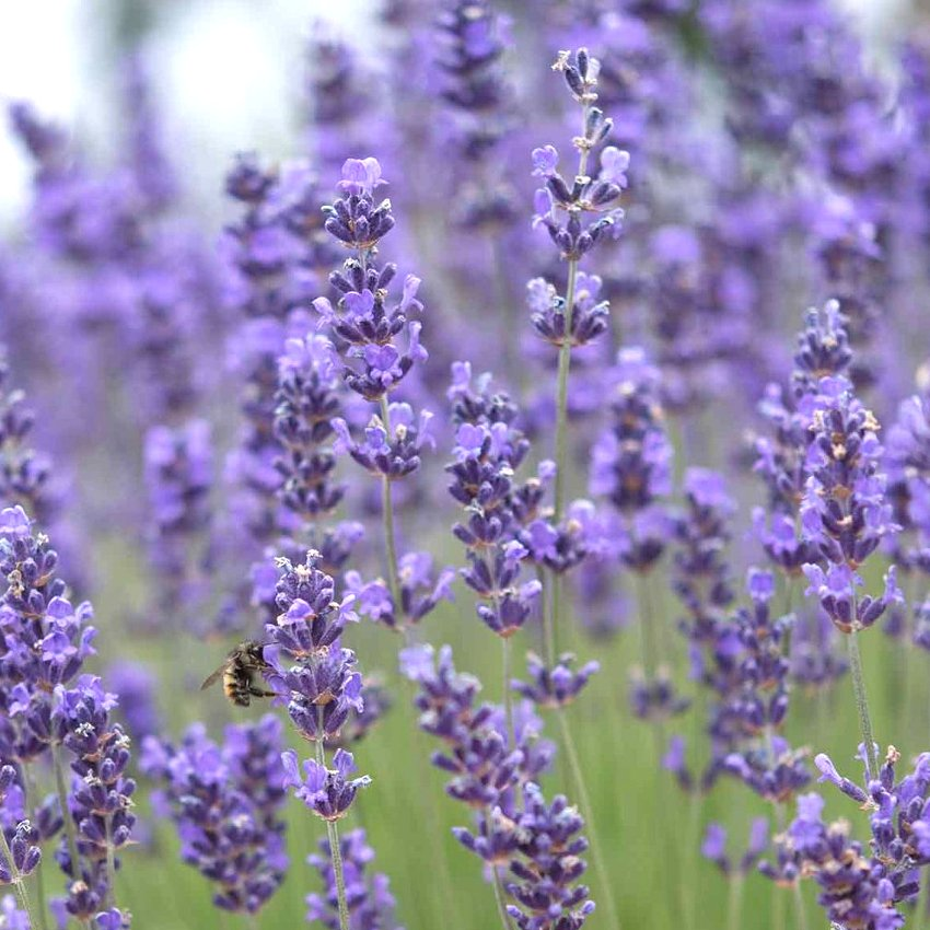 Munstead True Lavender Lavandula angustifolia - 100 Seeds