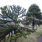 Rare Monkey Puzzle Tree Pehuén Araucaria araucana - 5 Seeds