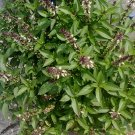 Organic Sacred Holy Basil Ocimum tenuiflorum - 100 Seeds