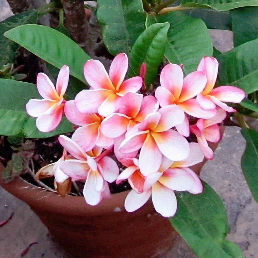 Hawaii Oahu Maui Kauai Molokai Lanai Plumeria - 10 Seeds
