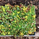 Mixed Wall Carpet Stonecrop Sedum sp.- 100 Seeds