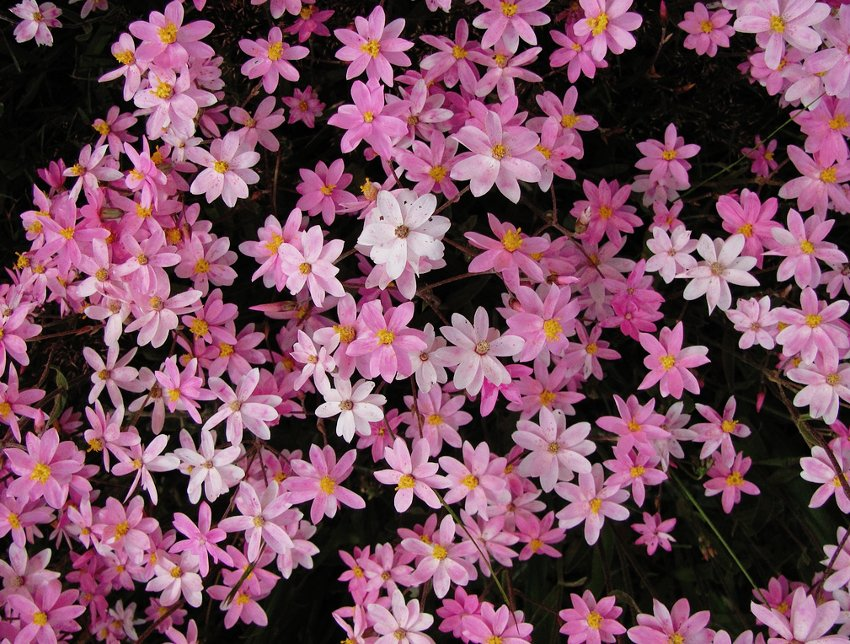 Rare Pink Cluster Star Everlasting Schoenia cassiniana - 10 Seeds
