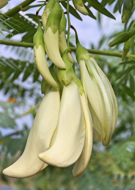Rare White Dragon Tree Sesbania formosa � 5 Seeds