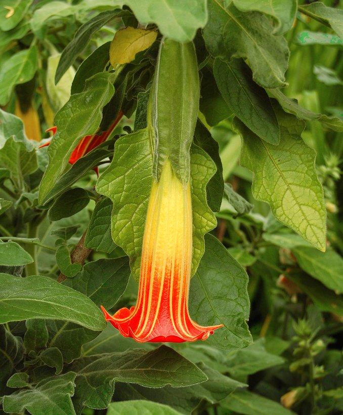 Brugmansia Sanguinea 5 Seeds Angel/'s Trumpet