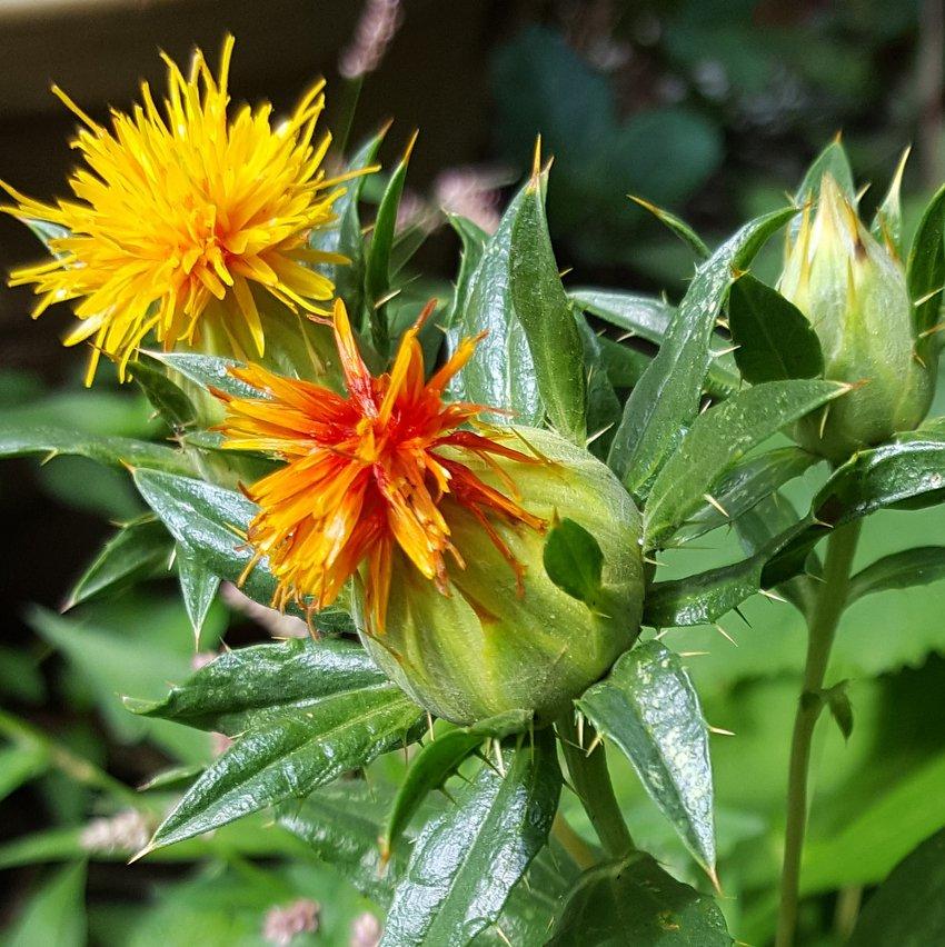 Organic Herb Safflower Carthamus Tinctorius - 150 Seeds