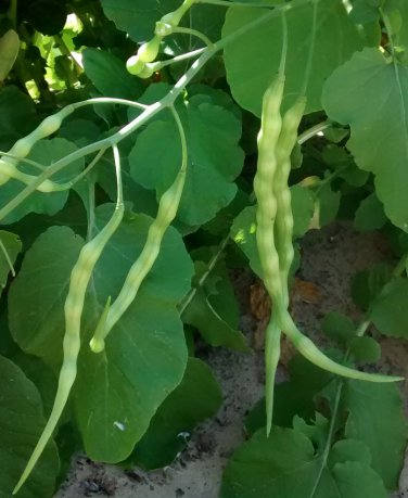 Rare Heirloom Podding Serpent Tail Radish Raphanus caudatus mougri  - 40 Seeds