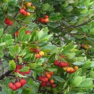 Hardy Irish Strawberry Tree Arbutus unedo - 15 Seeds